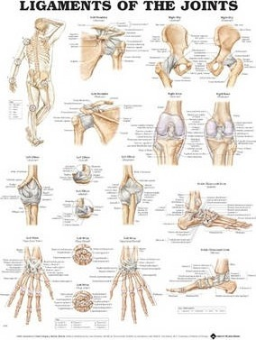 Ligaments of the Joints Anatomical Chart (Paperback)